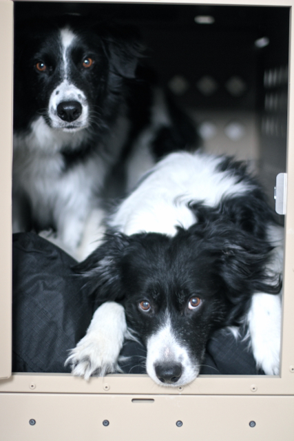 Border Collies sharing their aluminum crate